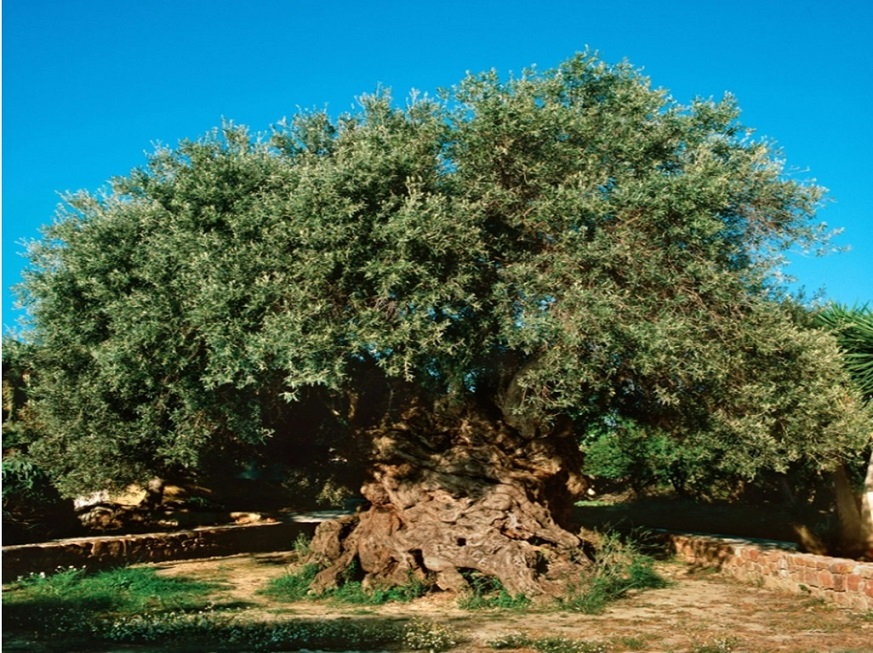 Zeytin ağacının hikayesi
