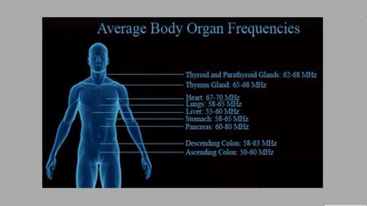 Organların Ortalama Frekansları